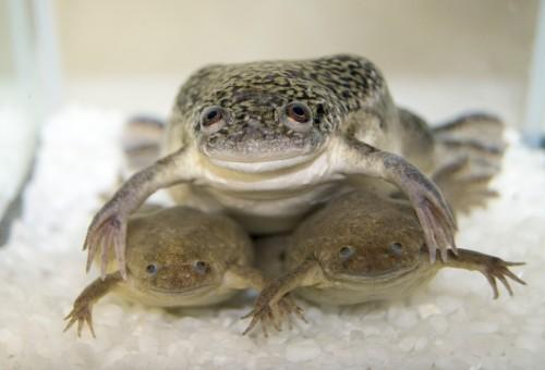 아프리카 발톱 개구리(위)와 서양 발톱 개구리(아래)는 4800만 년 전 분화한 종이지만 교배가 가능하다. 다만 아프리카 발톱 개구리의 알과 서양 발톱 개구리의 정자가 수정될 경우만 올챙이까지 발생 가능하다. - 스즈키 아츠시 일본 히로시마대 교수 제공